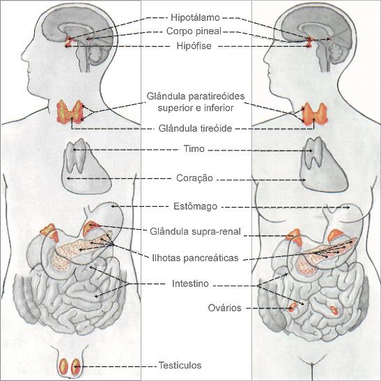 Glândulas Sexuais - As sete glândulas endócrinas no homem
